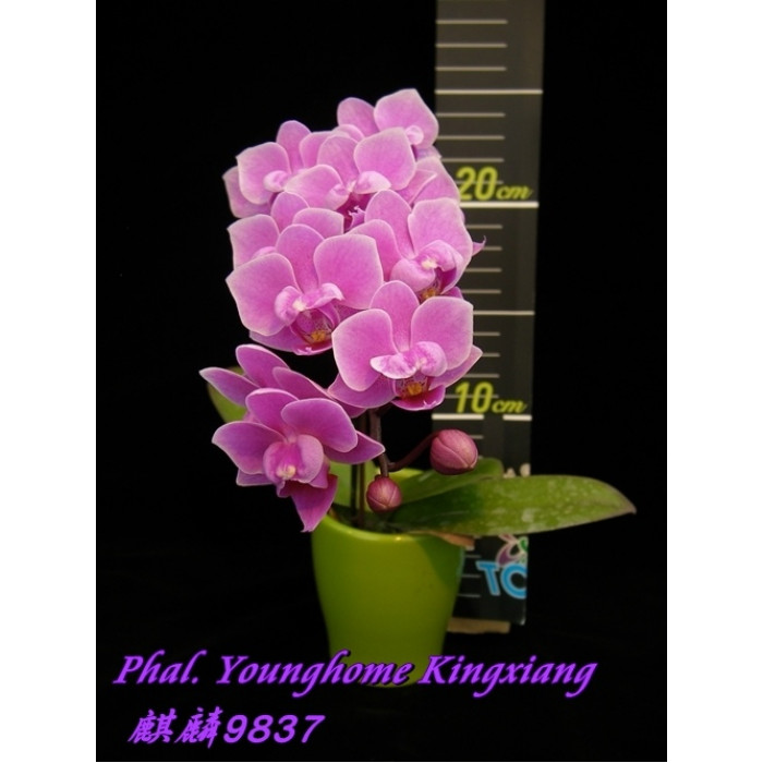 Phal. Younghome Kingxiang