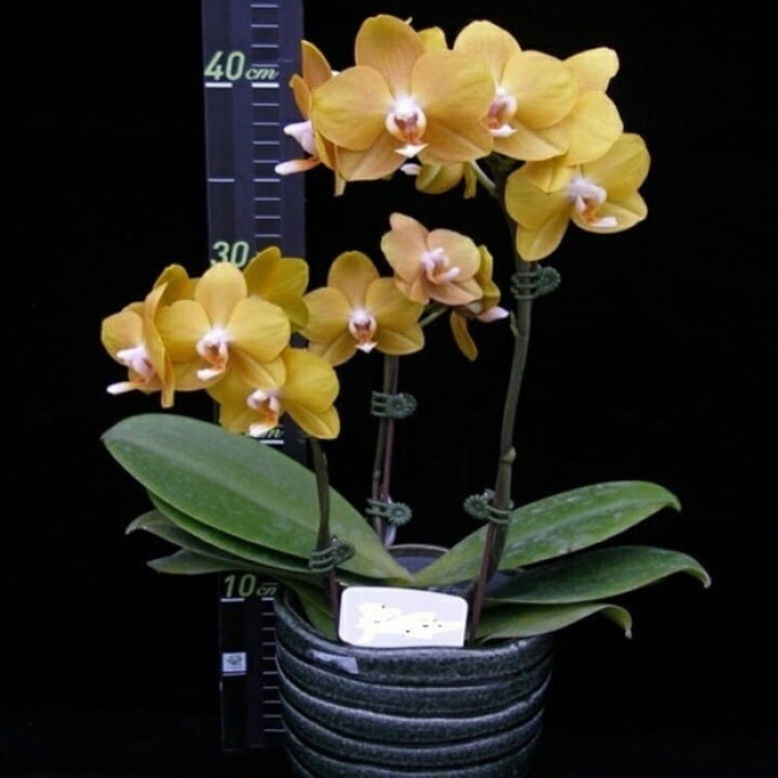 Phal. Younghome Woody