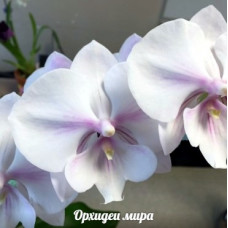 Phal. Yu Pin Easter Island big lip 2,5 уценка