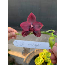 Phal. Zheng Min Anaconda x (Samera-Hawaii Dragon Girl) Black Eagle