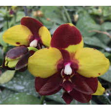 Phal.Yaphon Black Princess GG