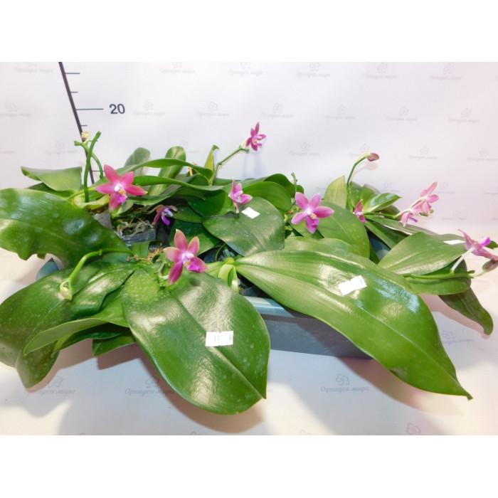 Фаленопсис (Hybrid Pink)