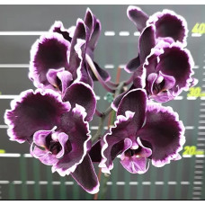 Phal. Summer Breath 401