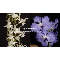 Aerangis Kotschyana x V. Coerulea