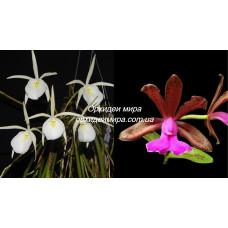B. Perrinii x C. Bicolor var. grossii