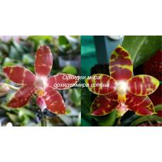 Phal. (Amboinensis x Corningiana) x Yaphon Sir