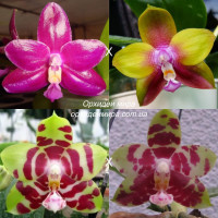 Phal. (Chienlung Red King x Dragon Tree Eagle) x (Yaphon Sir x Yungho Princess G..