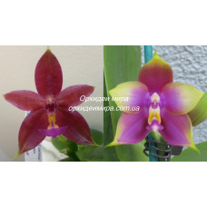 Phal. (Lds Bear Queen x Cornu-cervi) x Hawaii Dragon Girl