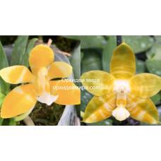 Phal. (Mambo-P.K.) flava x Yaphon Yellow Bomb