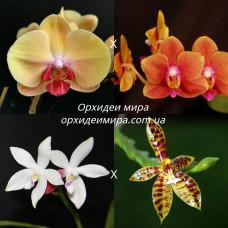 Phal. (Sin-Yuan Golden Beauty x Tzu Chiang Orange) x (Tetraspis C1 x Cornu-cervi)