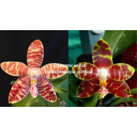 Phal. (Tetraspis C1 x Amboinensis Common) x Yaphon Sir