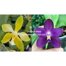 Phal. (Micholitzii x Mambo) flava x Violacea indigo