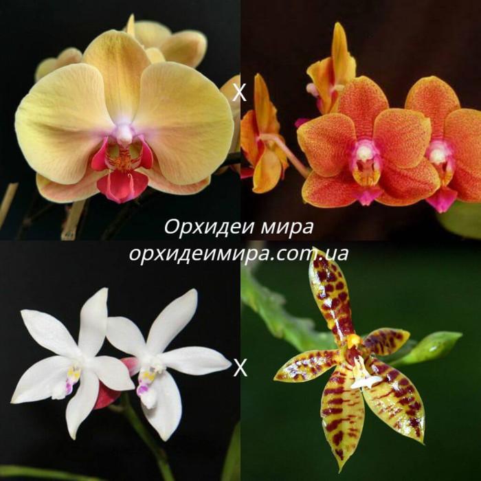 Фаленопсис ((Sin-Yuan Golden Beauty x Tzu Chiang Orange) x (Tetraspis C1 x Cornu-cervi))