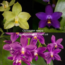 Phal. (Yaphon Evergreen x Violacea indigo) x Jennifer Palermo