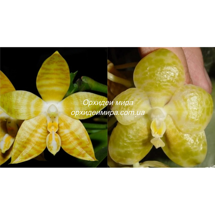 Phal. Amboinensis flava x Gigantea alba