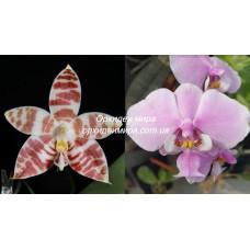 Phal. Amboinensis x Schilleriana