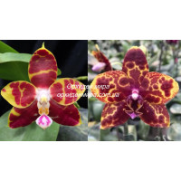 Phal. Brother Ambo Passion x GW Green World