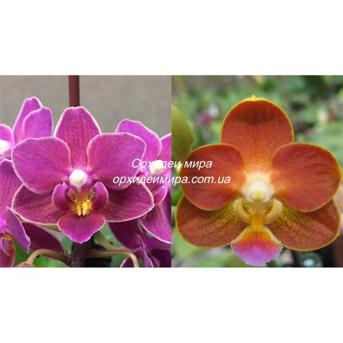 Фаленопсис (Caribbean Sunset x Yaphon Perfume Yaphon)