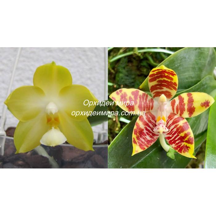 Phal. Chang Maw Jade x Amboinensis