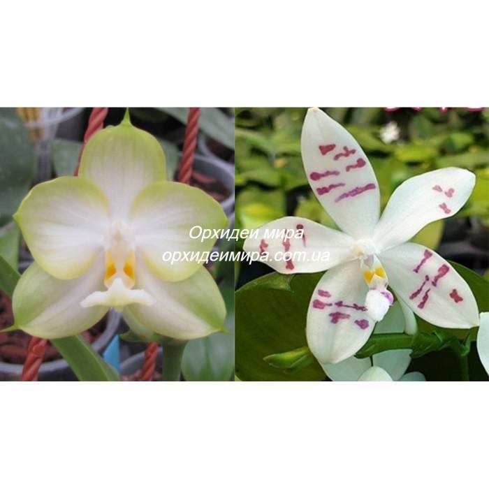 Фаленопсис (Chang Maw Jade x Tetraspis)