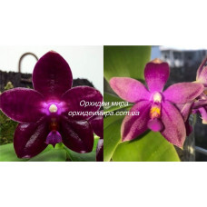 Phal. Chienlung Blood Diamond