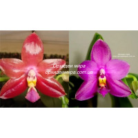 Phal. Chienlung Red King x Shingher Pure Love