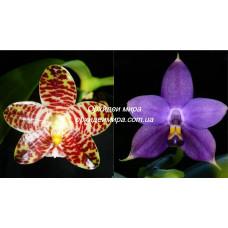 Phal. David Lim x Violacea var. Blue