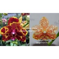 Phal. GW Green World x (Yaphon Rose x Yaphon Goldlight)