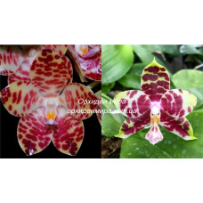 Phal. Giant Passion