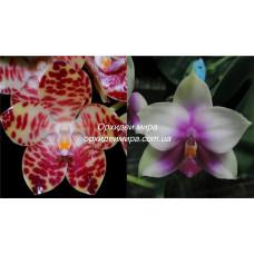 Phal. Gigantea Jumbo Butterfly x Bellina IVY 4