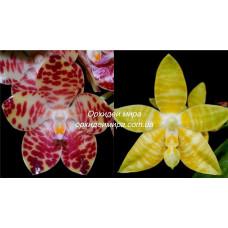 Phal. Gigantea x Amboinensis flava