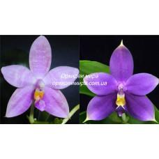 Phal. Jennifer Palermo Blue x (Yaphon Evergreen x Violacea indigo) Blue
