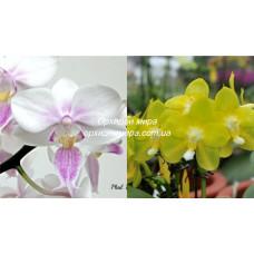 Phal. Lius Twilight Rainbow x Yaphon Perfume Yellow