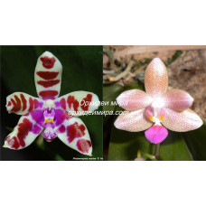 Phal. Mariae Red Spot x Javalin 2,5