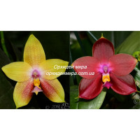 Phal. Mituo Gelb Eagle