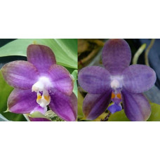 Phal. Mituo Reflex Dragon x LD Purple 3S