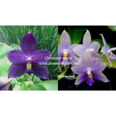 Phal. Penang Jewel
