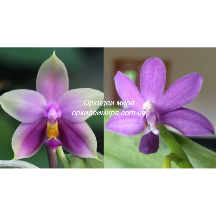 Phal. Samera blue x Purple Martin
