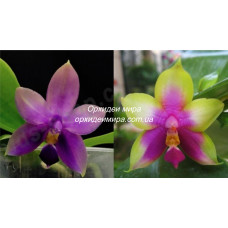 Phal. Samera x (Bellina x KS Happy Eagle) 1,7