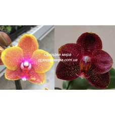 Phal. Sogo Lawrence x Mituo Sun