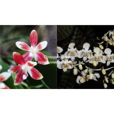 Phal. Speciosa Red x Celebensis 3,5