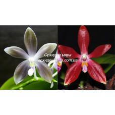 Phal. Speciosa blue x Speciosa red 2,5