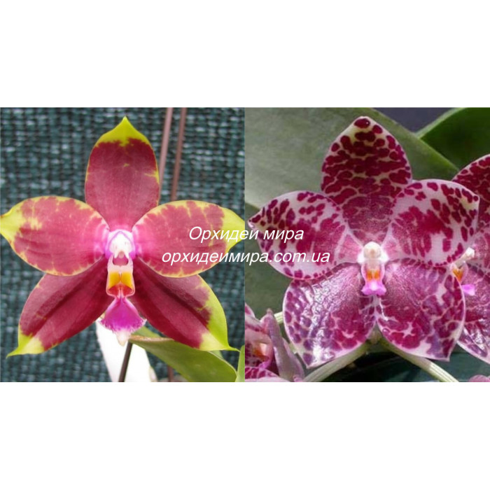 Phal. Summer Honey