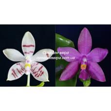 Phal. Tetrasambo White x Luedde-Violacea