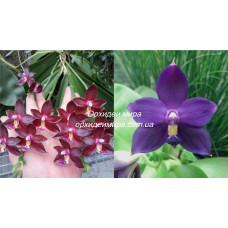 Phal. Valentinii × Violacea Indigo