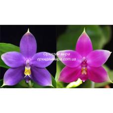 Phal. Violacea Blue-Indigo x Violacea Red