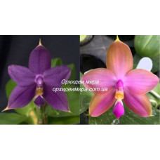 Phal. Violacea Indigo x (Nobbys Green Eagle x Dragon Tree Eagle) blue