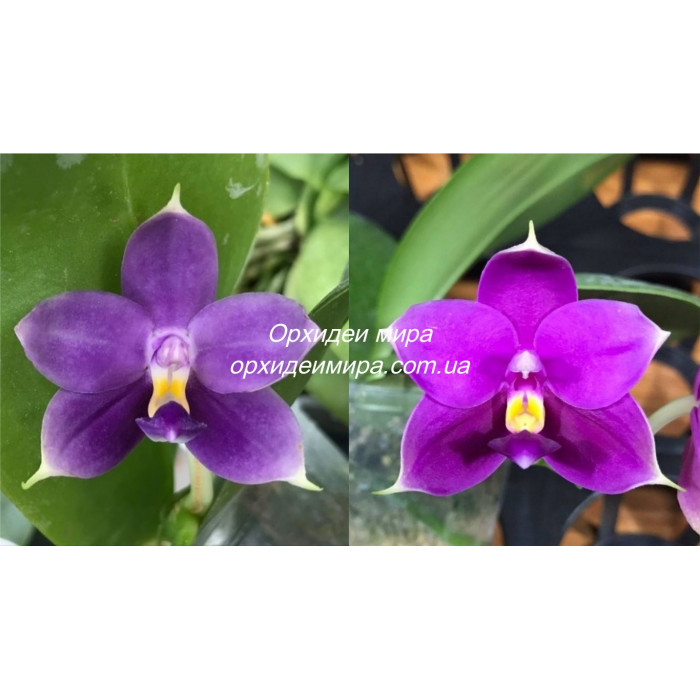 Фаленопсис (Violacea Indigo x LD Bellina Grosbeak)