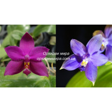 Phal. Violacea Red x Blue