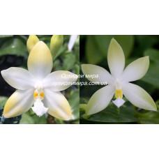 Phal. Yaphon Gem Flava x Violacea Alba
